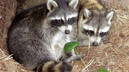 Rabies incidents high in Allegheny County