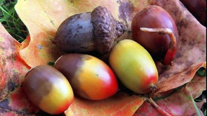 How to dine on acorns, an ancient food source