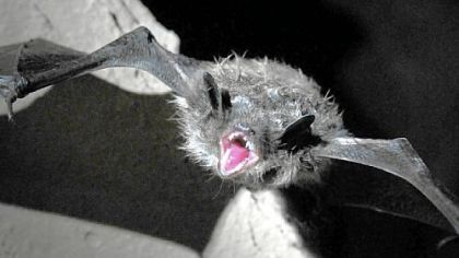 Wildlife: Massive loss of bats continues in eastern United States