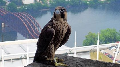 Let's Talk About Birds: Peregrine falcons