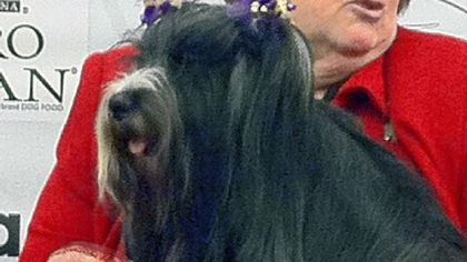 Westminster Kennel Club Dog Show: No win for comeback canine, but owners proud of pooch