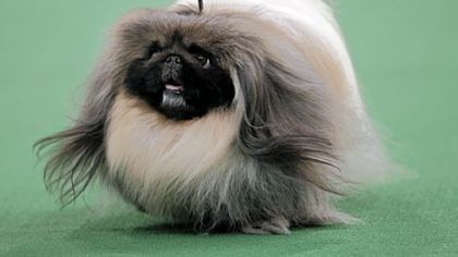 Pekingese wins crown at Westminster Kennel Club Dog Show