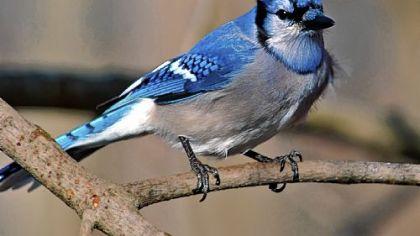 Let's Talk About Birds: Blue jays