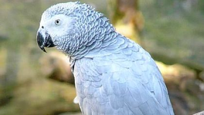 The African grey parrot is a popular pet.