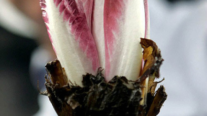 "One reader loves witloof, or endive, so much he wants to start ""Friends of Witloof."""