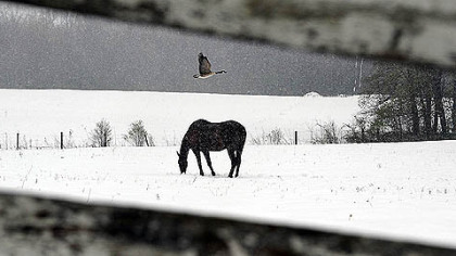 A goose flies over a horse as it trudges through a late April snowfall along School House Lane in Donegal.