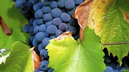 Bunches of Tinta Barroca grapes grow on the vine at the Quinta dos Malvedos estate, owned by Symington Family Estates, in Vila Real, near Porto, Portugal.