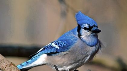 The blue jay is a very recognizable backyard bird.