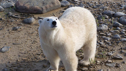 A polar bear in his native habitat near Churchill, Manitoba.