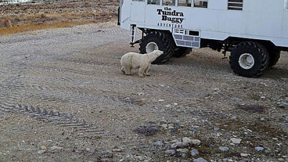 A polar bear taking a look at a tundra buggy.