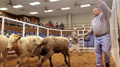 David Means, right, ringmaster and proprietor of Callaway Livestock Center, wrangles four head of feeder cattle at a weekly cattle auction in January in Callaway County, Miss.