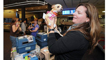 Dancer, one of seven Chihuahuas heading from San Diego to Critter Care in Evans City to be available for adoption, meets Jodi Hilliard from Butler at Pittsburgh International Airport.