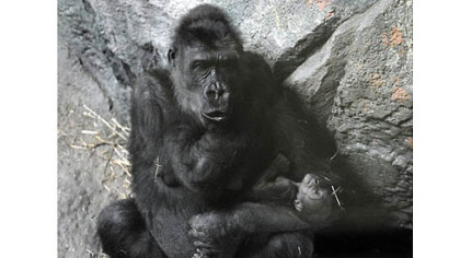 Moka, a  western lowland gorilla, cradled her newborn baby at the Pittsburgh Zoo & PPG Aquarium in February. The baby died over the weekend.