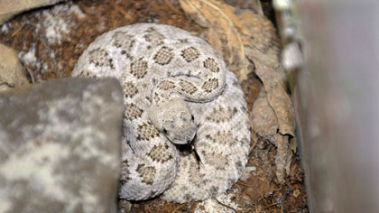 A two-foot diamondback rattlesnake, as identified by Paul McIntrye of Triangle Pet Control Service, was taken out of a house on Broadway Ave in Stowe Township.