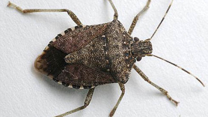 Stink bug