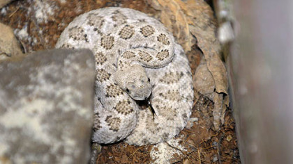 A 2-foot Western diamondback rattlesnake was taken out of a house on Broadway Street in Stowe.