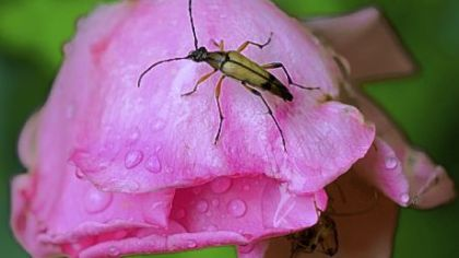A flower longhorn beetle on a spent rose.