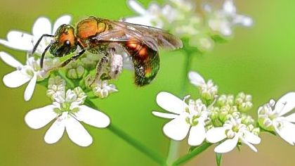 A bee covers itself with pollen from the herb cilantro.