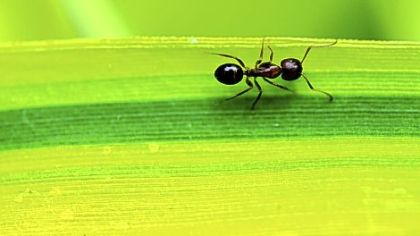 An ant makes its way across a bamboo leaf.