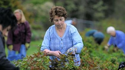 Mary Carney of White Oak and other gardeners prune rose brushes at Renziehausen Park, McKeesport.