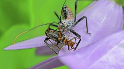 An assassin bug nymph spears its prey with its long proboscis.