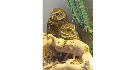 The National Aviary recently welcomed two burrowing owls.