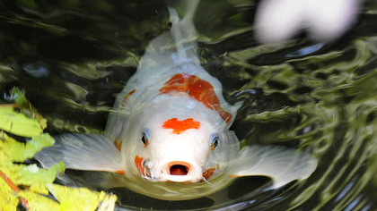 A Koi surfaces in the Segal pond.