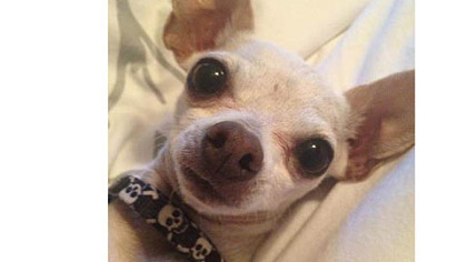 Lucky, one of seven Chihuahuas rescued from California by Chihuahua Rescue of San Diego.