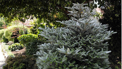 A Korean blue spruce is one of the many unique plants in Jerry and Monica Segal's garden at their Regent Square home.