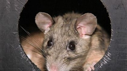 On the state's threatened-species list since 1983, the Allegheny woodrat is the subject of a Game Commission Wildlife Action Plan.