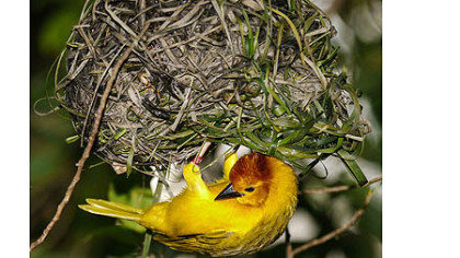 The Taveta golden weaver is a prolific nest builder.
