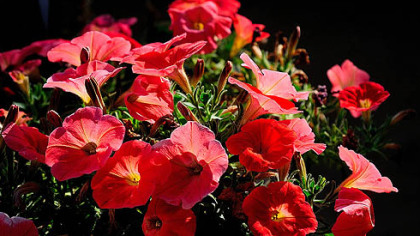 The new Petunia 'Plus Papaya' offers a rare color in petunias and opens the door for some riveting combinations.