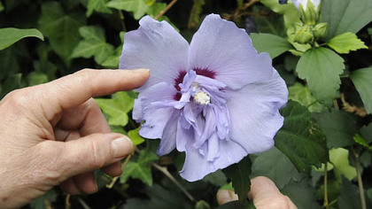 Hibiscus can fail to set flower buds or will abort unopened buds because of too much nitrogen fertilizer, hot and dry weather, or insect infestations.